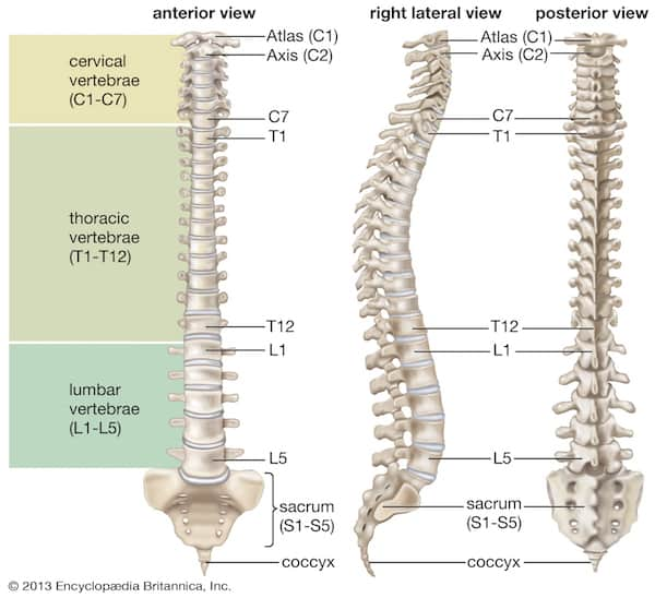 cracking your own back - vertebrae sections
